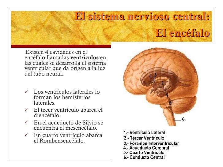 El sistema nervioso central: El encéfalo <ul><li>Existen 4 cavidades en el encéfalo llamadas  ventrículos  en las cuales s...