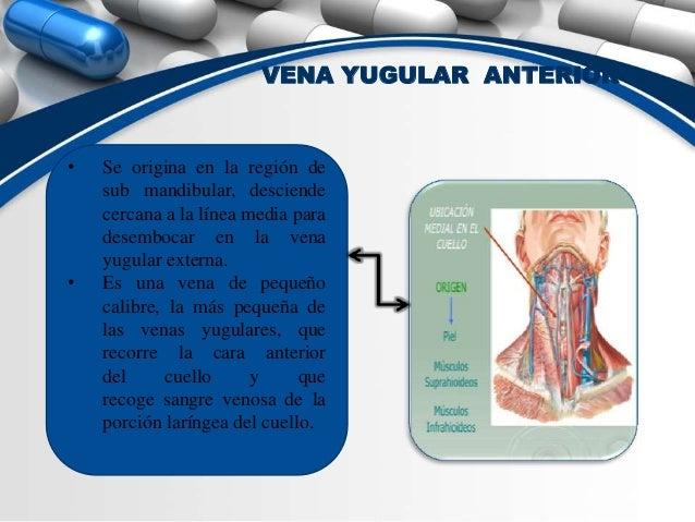 Anatomia sistema venoso