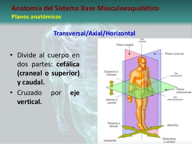 Introducción a la anatomía del sistema base músculoesquelético