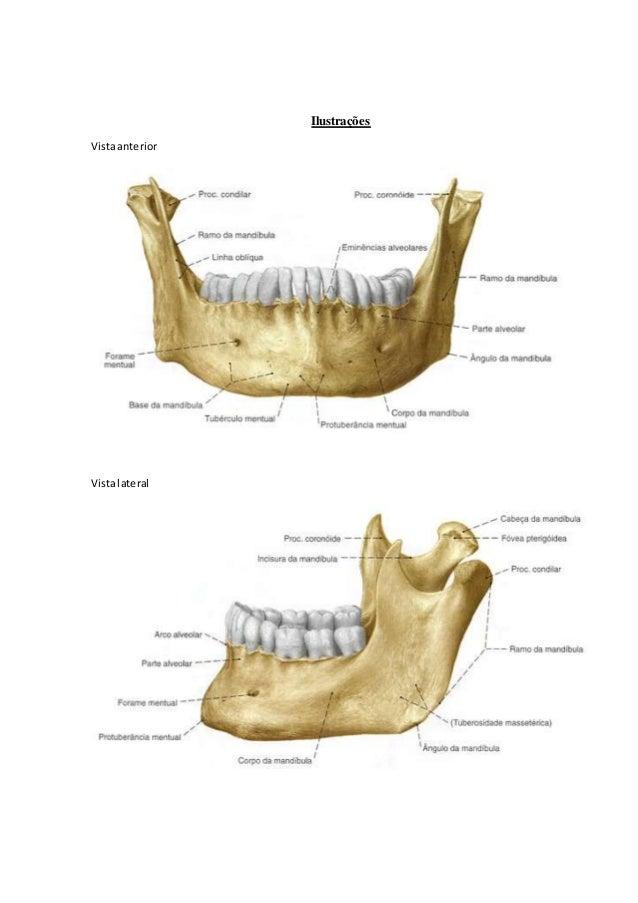 Perfecto Anatomía Maxilar Y Mandibular Molde - Anatomía de Las ...