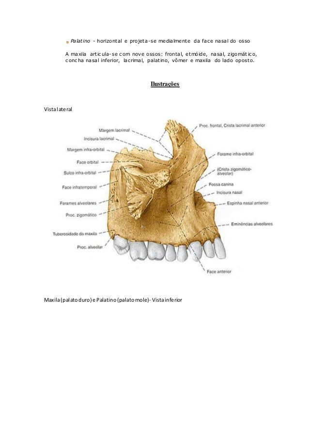 Anatomia óssea Mandíbula E Maxila