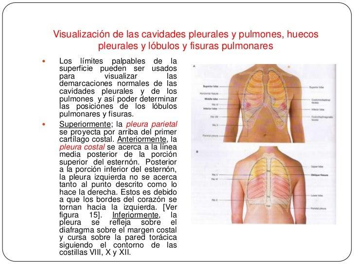 Increíble Pulmón Lóbulos Anatomía De Superficie Adorno - Anatomía de ...