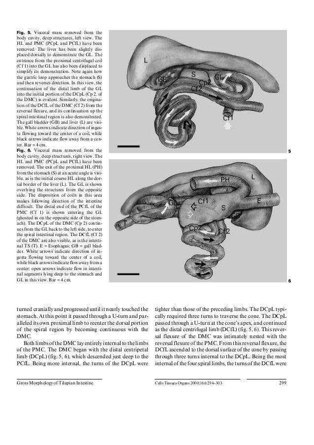 Anatomia Tilapia