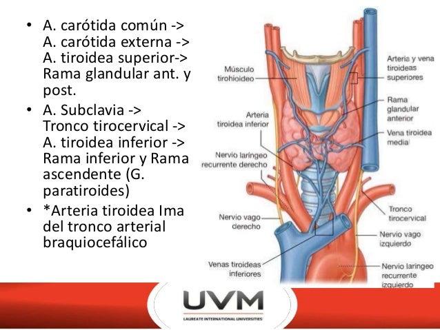 Anatomia de glandula tiroides