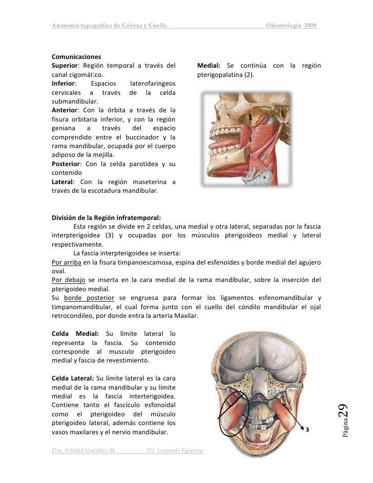 Anatomia topografía cabeza y cuello uss