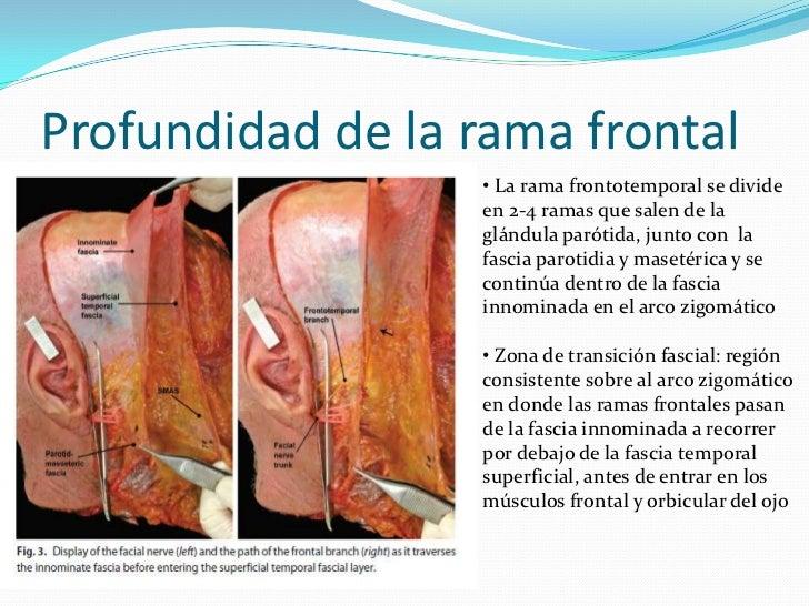 Anatomia topografica n.facial