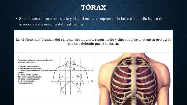 Anatomía topográfica del aparato respiratorio.