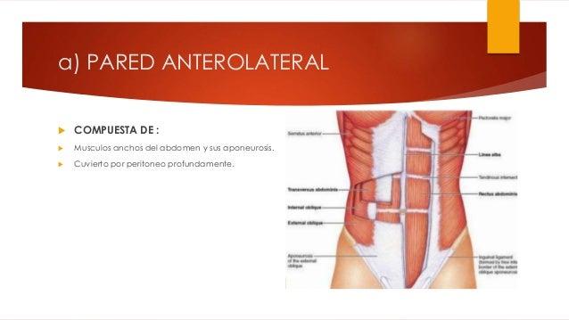 Anatomia topográfica del abdomen