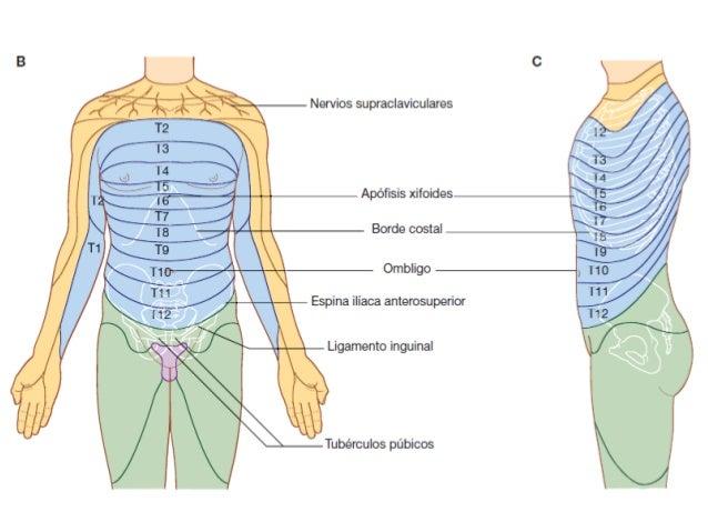 Anatomia toracica