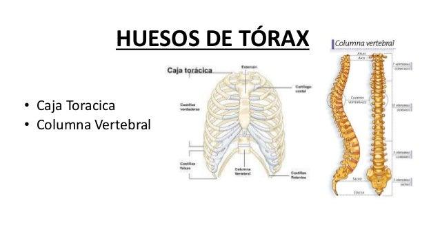Anatomía del Tronco: Tórax y Abdomen