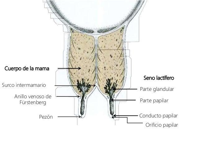 Anatomia ubre bovina