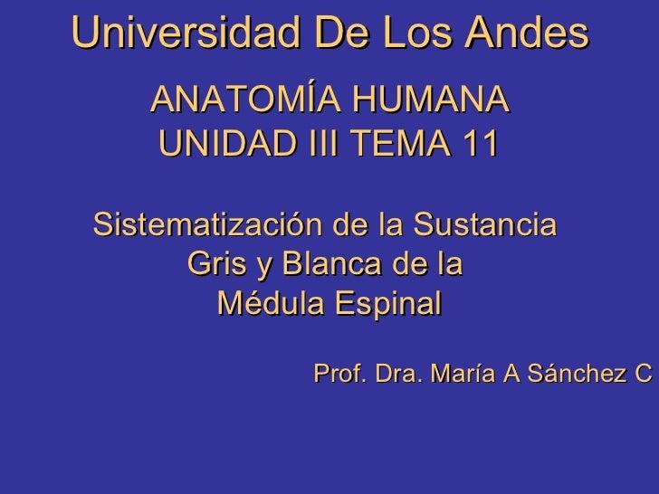Universidad De Los Andes ANATOMÍA HUMANA UNIDAD III TEMA 11 Sistematización de la Sustancia  Gris y Blanca de la  Médula E...