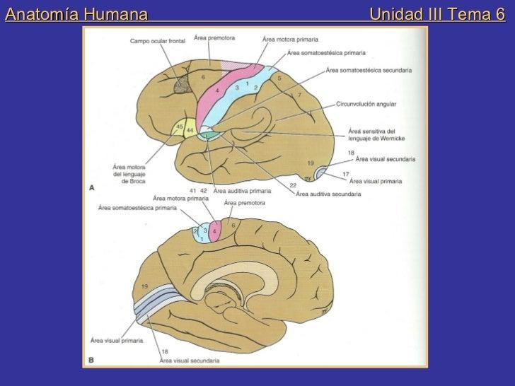 Anatomia und iii tema 6