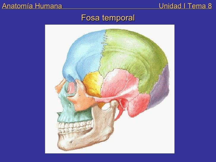 Encantador Anatomía Fosa Temporal Colección - Anatomía de Las ...
