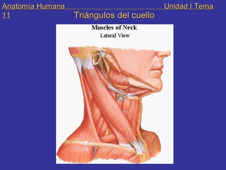 Triangulos Del Cuello Anatomia Ebook