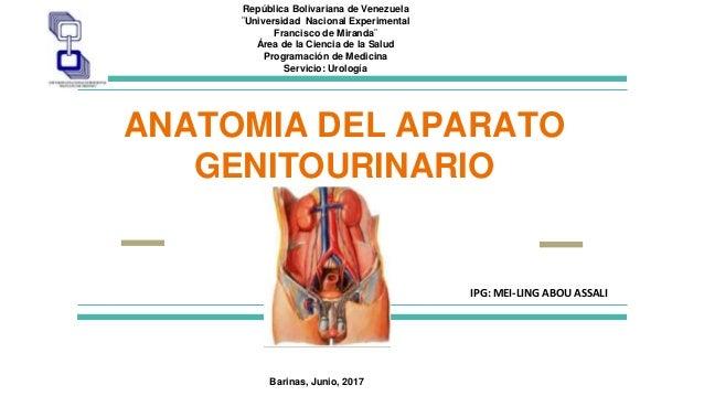 Anatomia urogenital y semiologia urologica