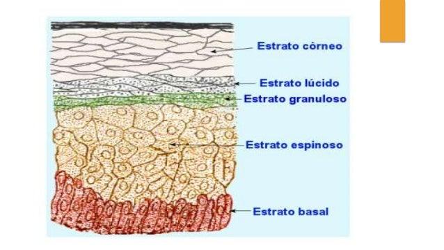 Anatomía y embriología de la Piel, pelo y uñas