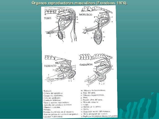 Anatomia y fiosiologia del aparato reproductor del macho