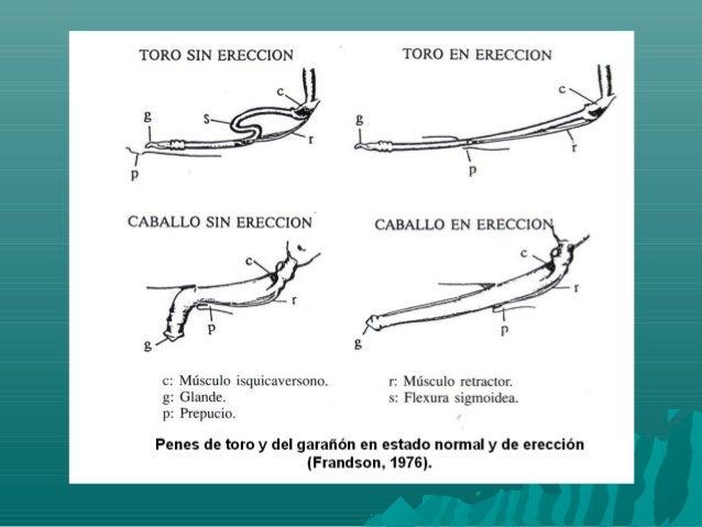 anatomia del aparato reproductor del macho bovino
