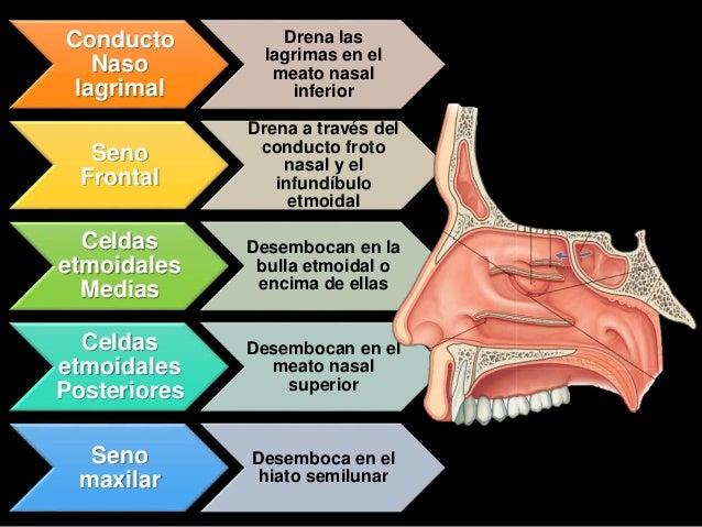 Anatomia y fisiologia del aparto o sistema respiratorio