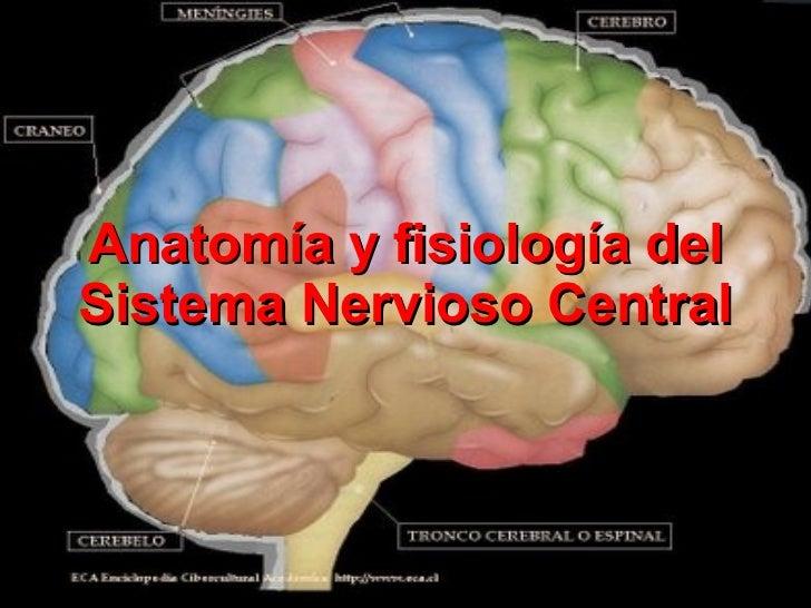 Perfecto Sistema Central De La Anatomía Y Fisiología Nerviosas ...