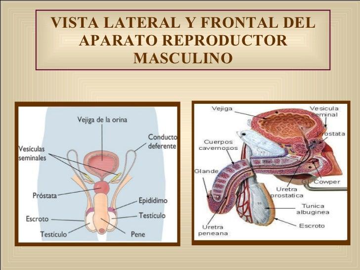 Anatomia y fisiologa del aparato reproductor femenino y masculino