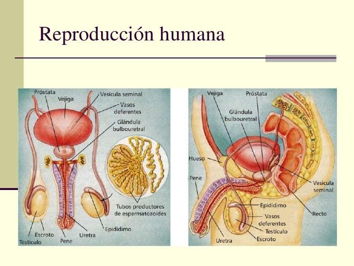 Atractivo Anatomía De Reproducción Componente - Anatomía de Las ...