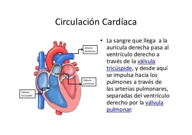 Anatomia y fisiologia basica del corazon [sólo lectura]