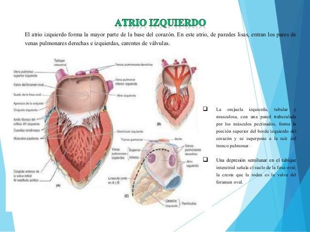 Anatomia y fisiologia cardiovascular