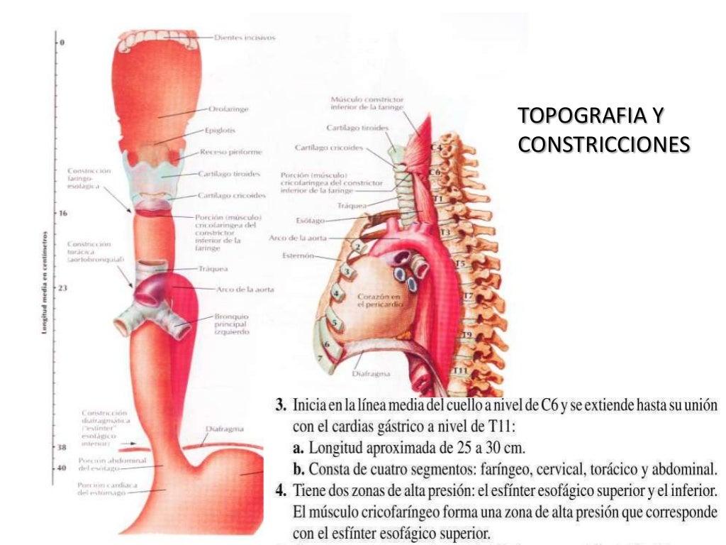 Anatomia y fisiologia de esofago
