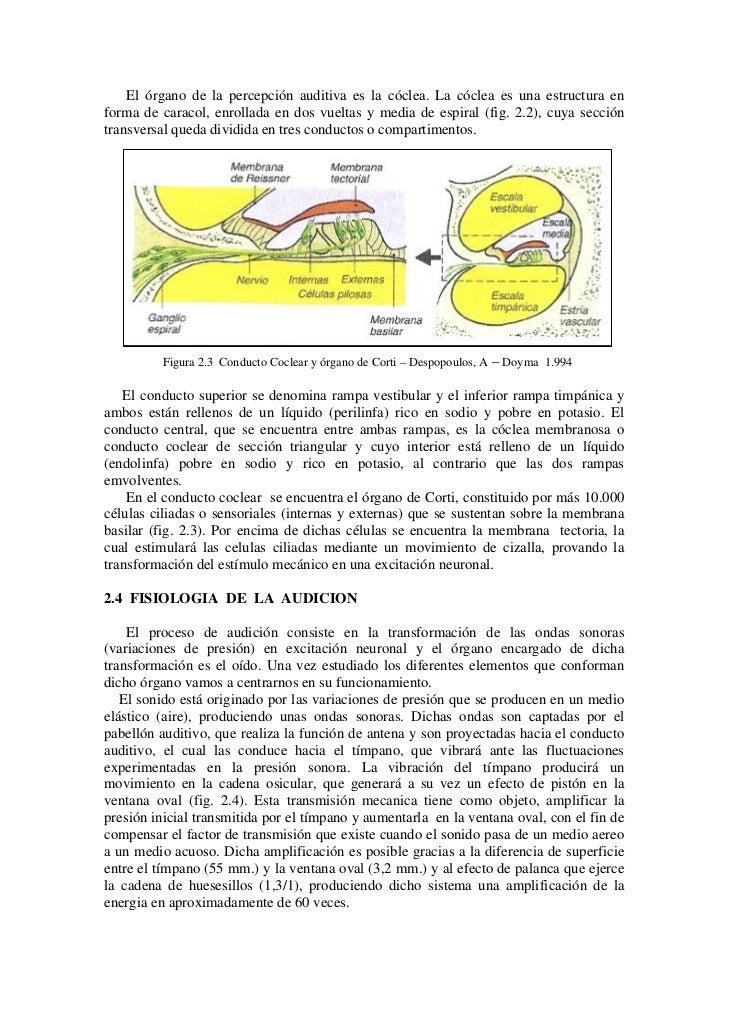 Anatomia y Fisiologia de la audicion