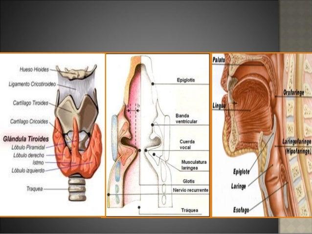 Anatomia y fisiologia de la laringe