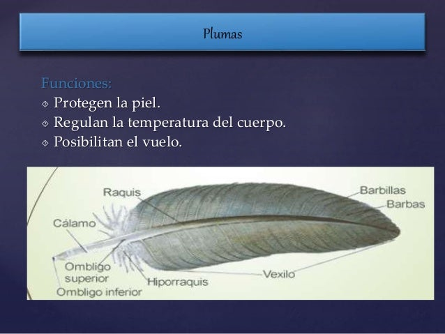 Anatomia y fisiologia de las aves mira y moposita
