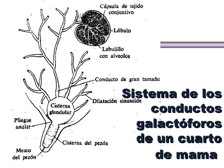 Anatomia y fisiologia de la ubre