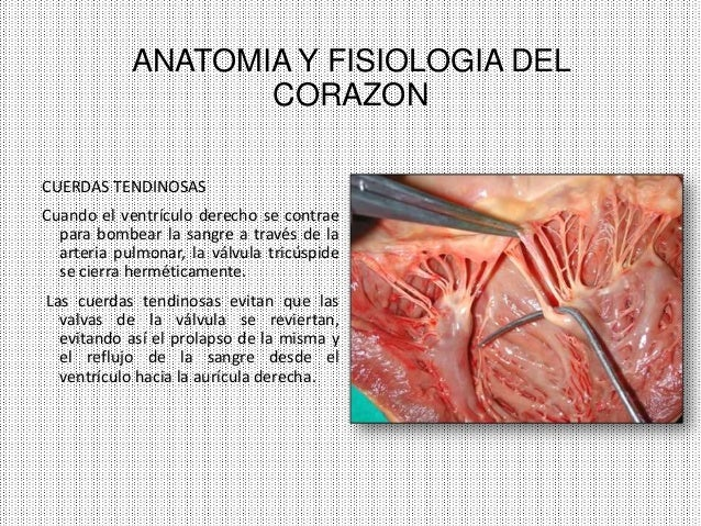 Anatomia y fisiologia del corazon [autoguardado]