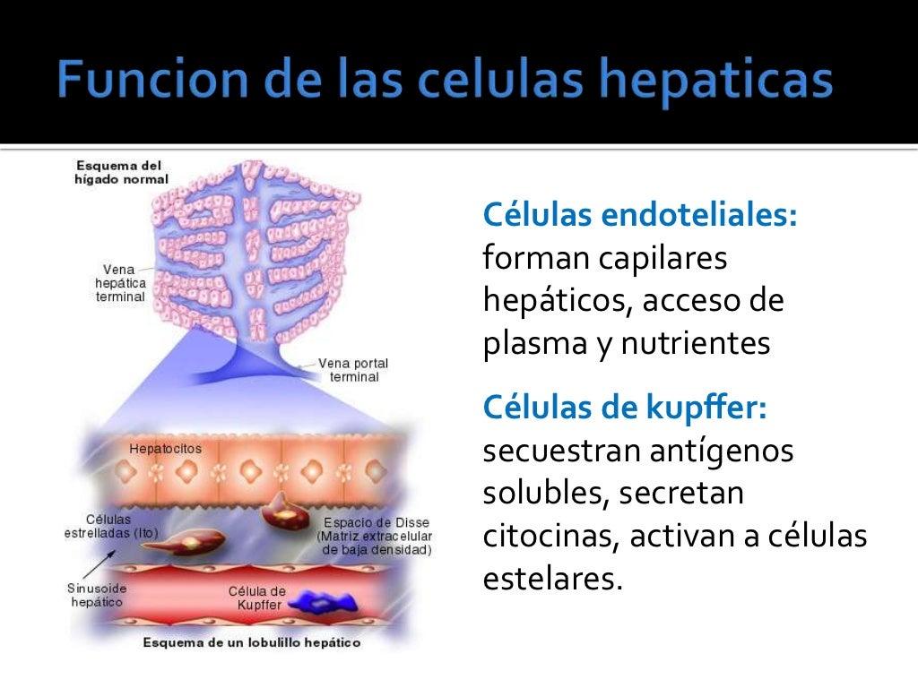Lujoso Anatomía Y Fisiología Supuesto Esquema Imagen - Imágenes de ...
