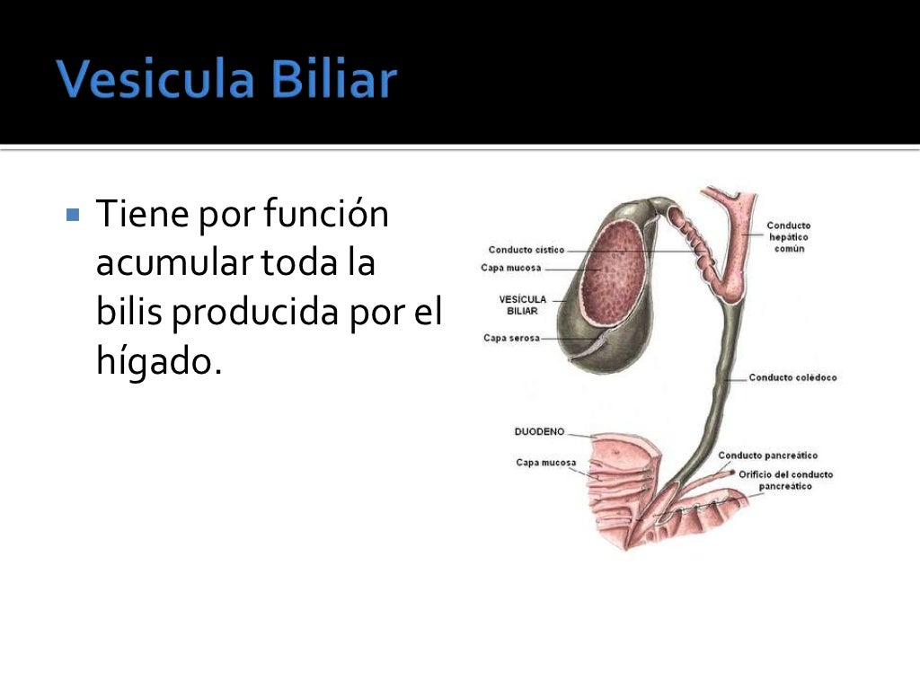 Anatomia y fisiologia del higado
