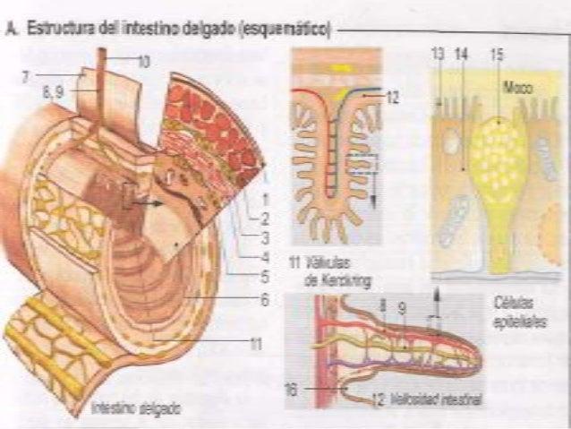 Anatomia y fisiologia del intestino delgado y grueso ok