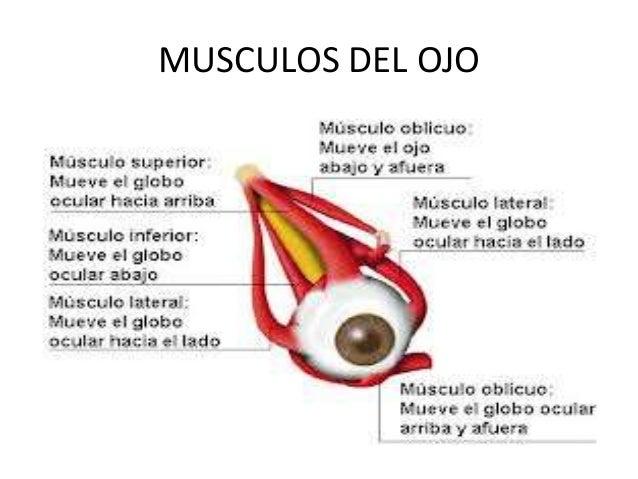 Anatomia y fisiologia del ojo1111