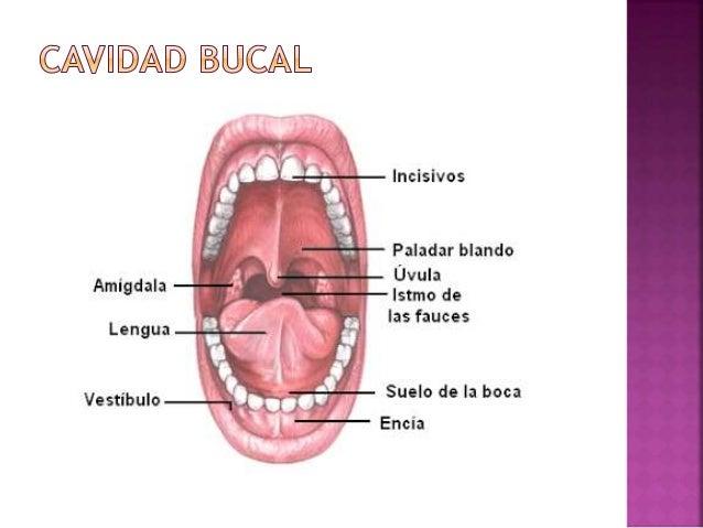 Anatomia y fisiologia del sistema digestivo