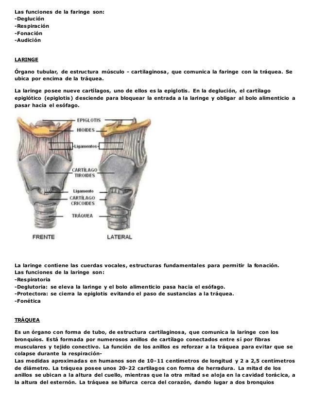 Anatomia y fisiologia del sistema respiratorio2