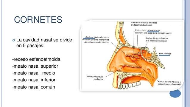 Anatomia y fisiologia_de_nariz