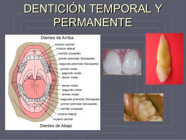 Anatomia y fisiologia Dental
