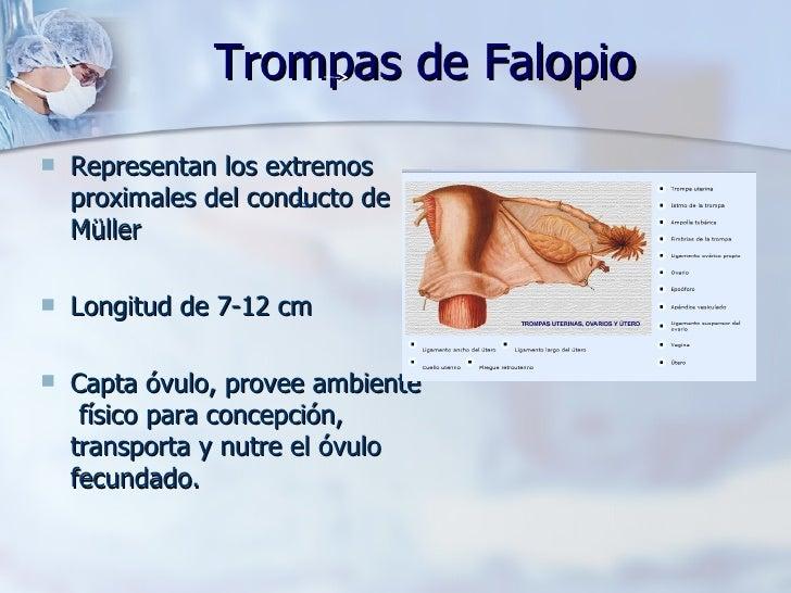 Contemporáneo Anatomía Trompa De Falopio Ornamento - Anatomía de Las ...