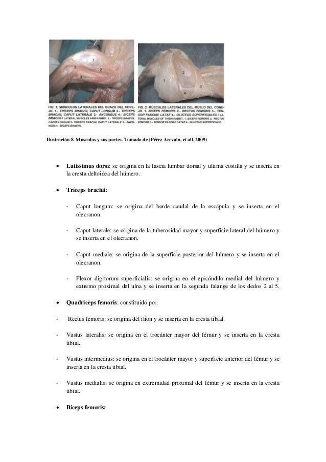 Anatomia y fisiologia de Orytalagus cuniculus