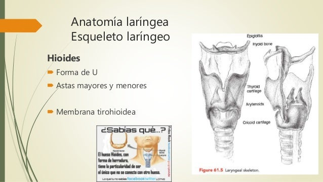 Anatomia y fisiologia laringea