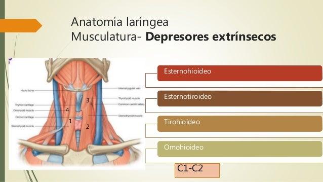 Anatomia y fisiologia laringea for Esternohioideo y esternotiroideo