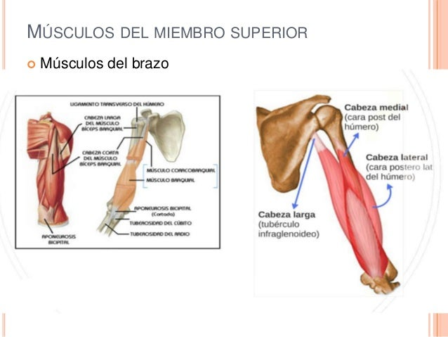 Anatomia y fisiologia muscular