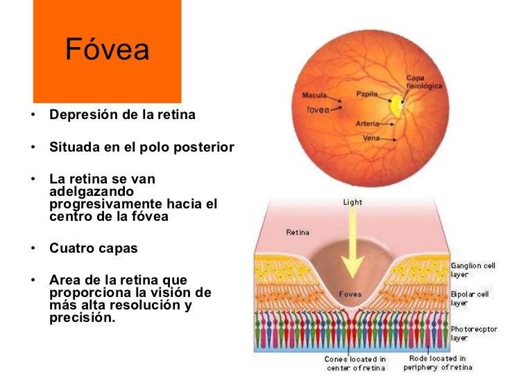 Magnífico La Anatomía Y La Fisiología Ocular Patrón - Anatomía de ...