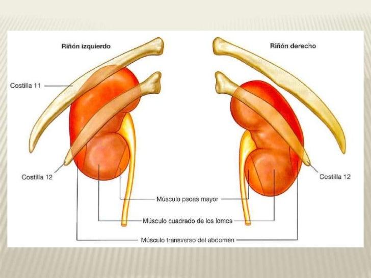 Moderno Anatomía Renal Y La Fisiología Pdf Foto - Anatomía de Las ...